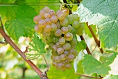 Silvaner grapes on the vine