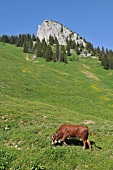 A cow on an alpine meadow