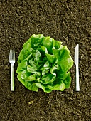 Fresh Head of Butter Lettuce in Dirt with Fork and Knife