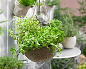 Fresh herbs in a hanging basket