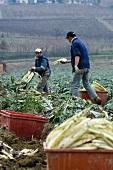 Workers harvesting cardoons (Piedmont, Italy)