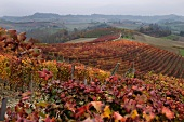 A Dolcetto vineyard south of Monferrato d Alba, Piedmont