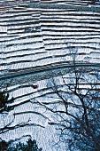 Höchster Rebberg Europas im Winter (Vispertal, Schweiz)