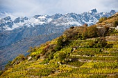 The highest vineyard in Europe in Vispertal, Switzerland