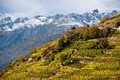 Höchster Rebberg Europas im Vispertal, Schweiz