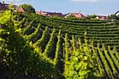 Chorb vineyard (Rheinau, Switzerland)
