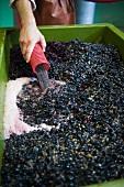 Die Trauben zur Vinifikation von Rotwein werden in eine Stande gefüllt