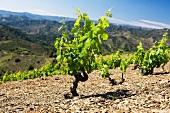 Garnacha (Grenache) Rebstöcke auf steinigem Boden, Weingut Ferrer Bobet, Katalonien