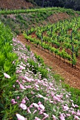 Terraced vineyards at the Clos d Agon winery, Calonge, Spain