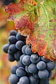 Barbera grapes, half hidden by a vine leaf