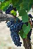 Sangiovese grapes on a vine