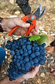 Hands holding Mourvedre red wine grapes and a pruning shears