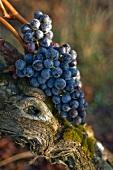 Merlot grapes lying on the stem of an old vine
