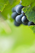 Cabernet Dorsa grapes on a vine