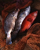 Various fish in a net