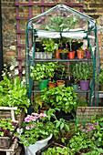 Kleines Gewächshaus aus Kunststoff mit verschiedenen Gemüse- und Salatsorten in Töpfen auf einer Terrasse