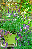 Lavender in a herb pot in a garden