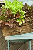 Salat wächst im Pflanzkorb auf der Terrasse