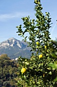 A lemon tree in Menton (Southern France)