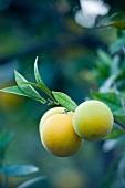 Lemons on the tree (close-up)