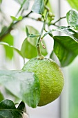 An unripe grapefruit on a tree