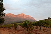 Muratie Estate vineyard, Stellenbosch, South Africa
