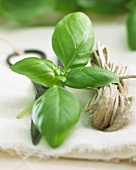 Fresh basil, a pair of scissors and kitchen twine