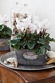 Cyclamen Miniwella Twinkle White im Blumentopf auf Kommode