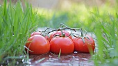 Tomatoes on a vine lying between grasses in a stream