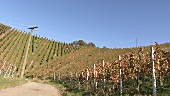 A vineyard near Stetten, Württemberg, Germany