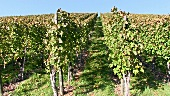 Vines near Stetten, Württemberg, Germany