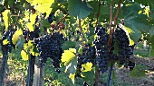 Blaufränkisch grapes on a vine in Burgenland, Austria