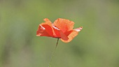 A poppy blowing in the wind