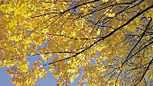 Autumn leaves on a tree