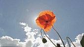 A poppy in the sunshine