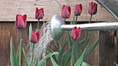 Dark red tulips being watered with a watering can