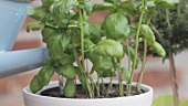 Basil in a pot being watered with a watering can