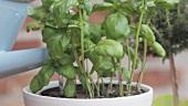 Basilikum im Topf mit einer Giesskanne gießen