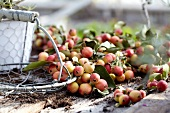 Scattered crab apples