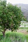 Mangobaum mit Früchten (Südafrika)
