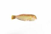 A razor fish