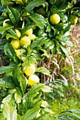 Yellow, ripe plums on a tree