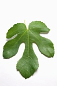 A Black Mission Fig Leaf on a White Background