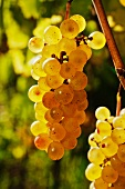 Ripe Ribolla Gialla grapes from Friaul, Italy
