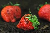 Erdbeeren auf der Erde