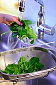 Spinach being washed under running water