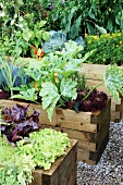 Lettuces in wooden raise beds