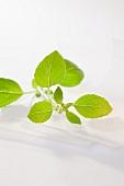 Bush basil leaves