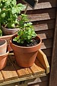 Minze und Basilikum in Tontöpfen auf Gartentisch