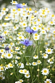 Blooming chamomile and corn flowers